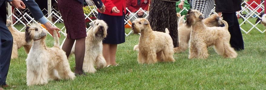 wheaten terrier Montgomery Way